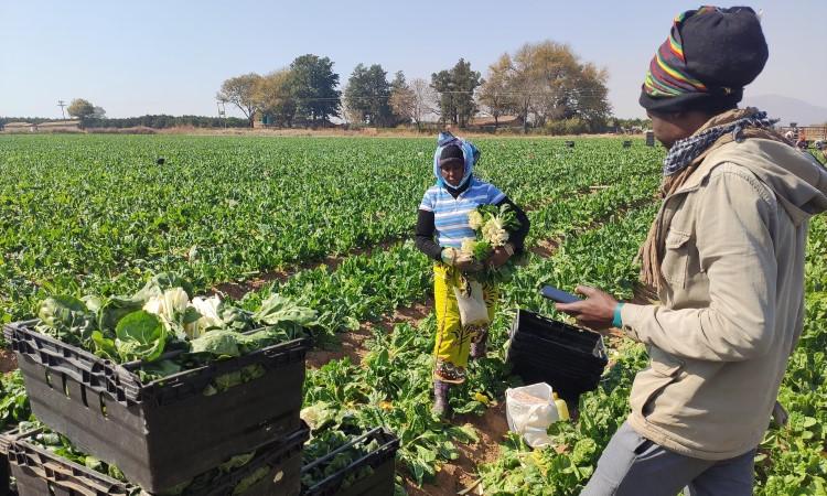 Rheeders Boerdery Harvesting