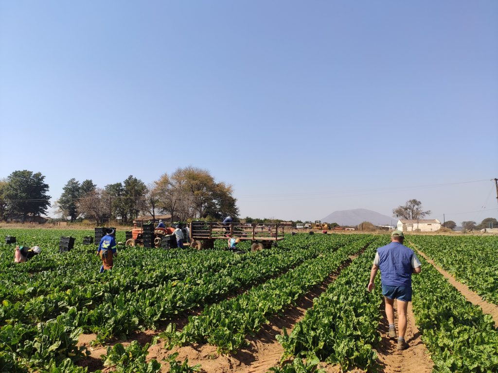 Spinach Harvesting - Rheeders Boerdery